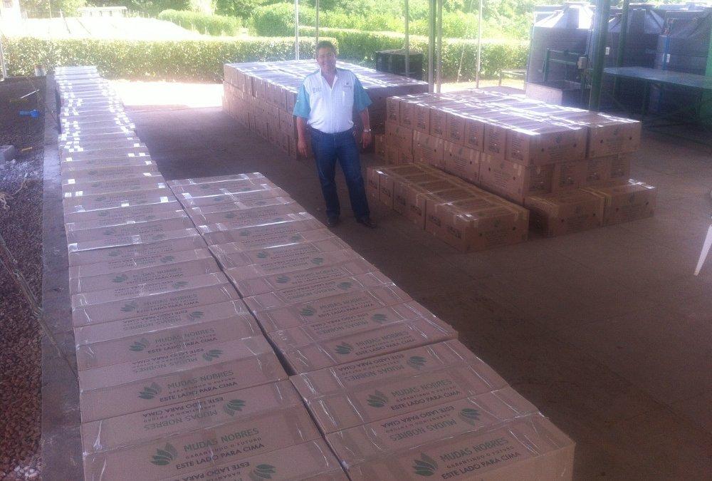 Minas Gerais recebe mais 25 mil mudas de mogno africano