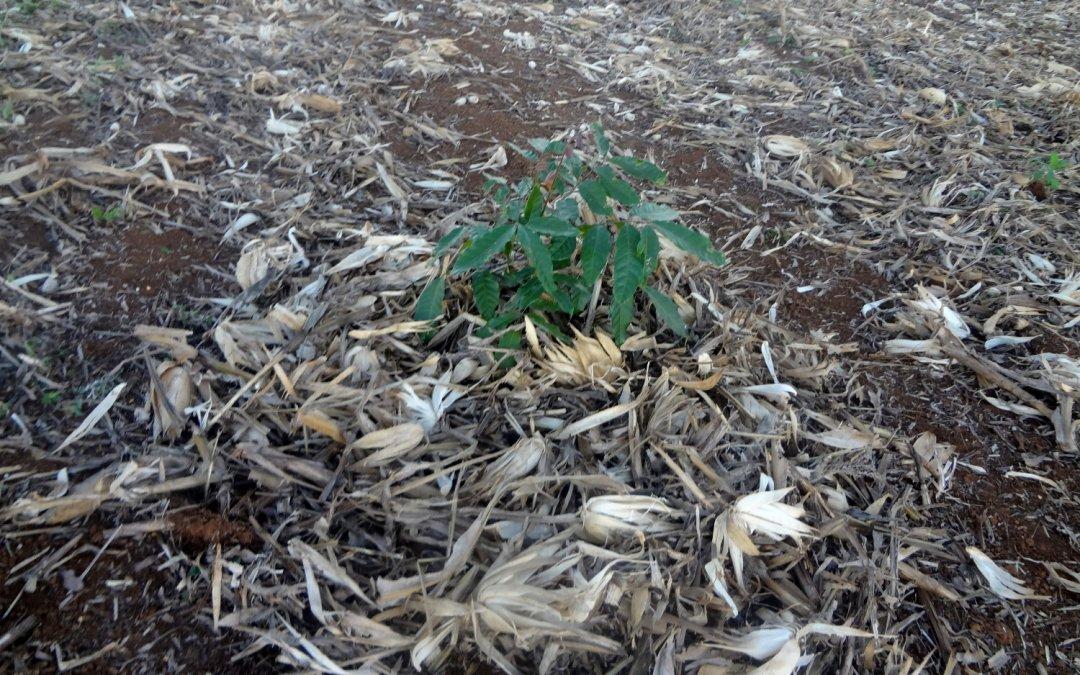 Mogno africano consorciado com milho