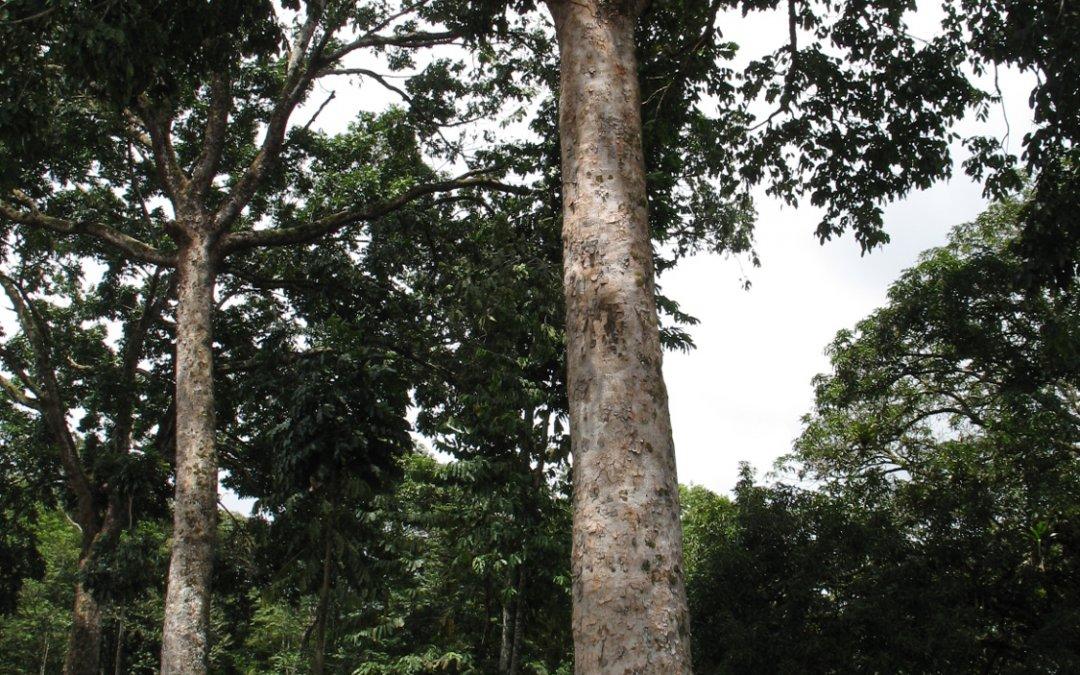 mogno-africano-35-anos-dap-125cm-altura-850cm