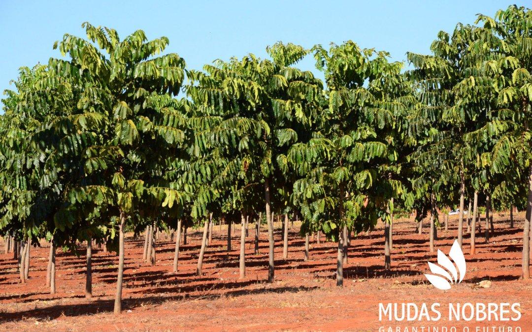 Desenvolvimento do Mogno Africano no Brasil: inventário florestal