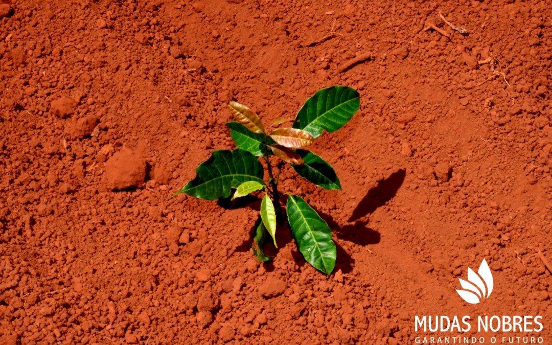 Mudas clonais da Mudas Nobres: o grande diferencial para o mercado de mogno africano