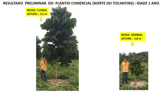 Mudas clonais de mogno africano: Avaliação preliminar de plantio comercial