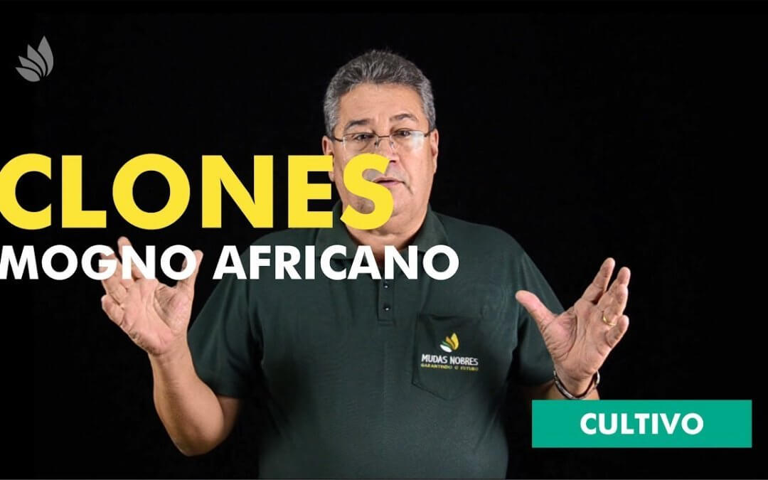 Mogno Africano: Clones