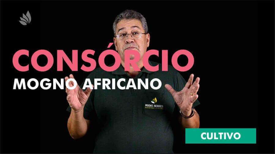 Mogno Africano: Consórcio de culturas