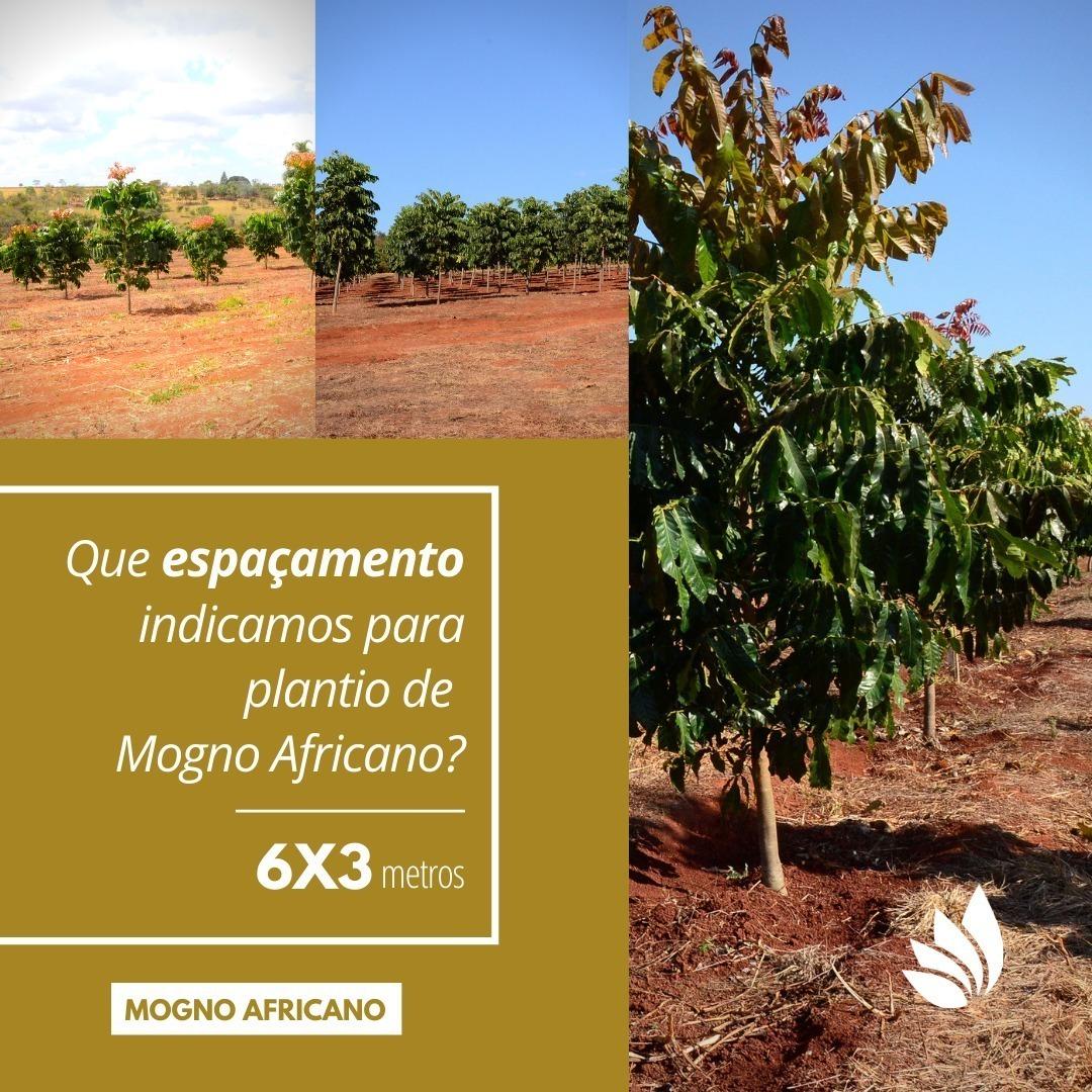 Espaçamento para Plantio de Mogno Africano